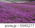 シバザクラ 芝ざくら 芝桜の写真 5095277