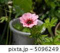 山イチゴの花 5096249