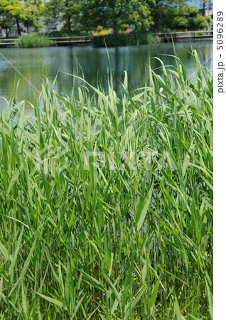 葦の風景 5096289