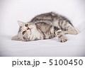 アメリカンショートヘア 哺乳類 子猫の写真 5100450