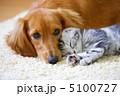 仲良しミニチュアダックスとアメリカンショートヘアの仔猫 5100727