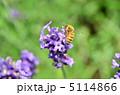 ミツバチ 蜜蜂 みつばちの写真 5114866