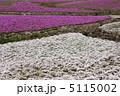 シバサクラ 芝さくら 芝桜の写真 5115002