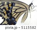 アゲハ蝶 アゲハチョウ 揚羽蝶の写真 5115582