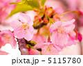 河津桜 カワヅザクラ 早春の写真 5115780