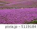 シバサクラ 芝さくら 芝桜の写真 5119184
