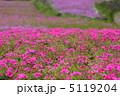 シバサクラ 芝さくら 芝桜の写真 5119204
