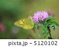 ムラサキツメクサ 紫詰草 アカツメクサの写真 5120102
