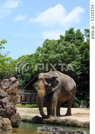 象(ゾウ)【天王寺動物園】「アジアの熱帯雨林ゾーン」で撮影 5120234