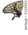 アゲハ蝶 アゲハチョウ 揚羽蝶の写真 5120922