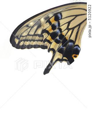 アゲハチョウの羽 5120922