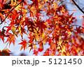 カエデ かえで 葉っぱの写真 5121450