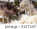 おおかみ シンリンオオカミ オオカミの写真 5127147
