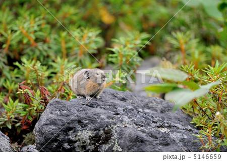 エゾナキウサギの子供 5146659