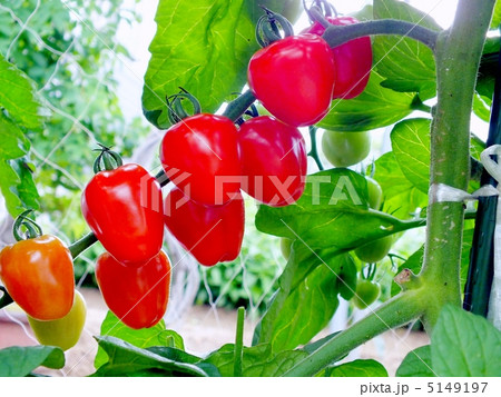 可愛い果形のミニトマト「トマトべりー」 5149197