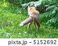 キツネ 狐 北狐の写真 5152692
