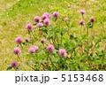 赤クローバー 紫詰草 ムラサキツメクサの写真 5153468