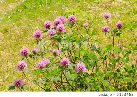 尾久の原公園沿いの隅田川の川原の淡いピンク色のムラサキツメクサ 5153468