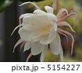 ゲッカビジン 月下美人 花の写真 5154227