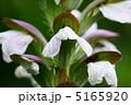 アカンサス 葉薊 ハアザミの写真 5165920