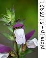 アカンサス 葉薊 ハアザミの写真 5165921
