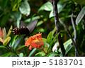 サンダンカにとまるカラスアゲハ 5183701