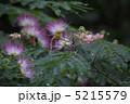 合歓木 ネムノキ 花の写真 5215579