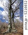 踊るブナの木 5216652