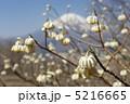 ミツマタと富士 5216665