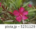 キョウチクトウ 植物 花の写真 5231129