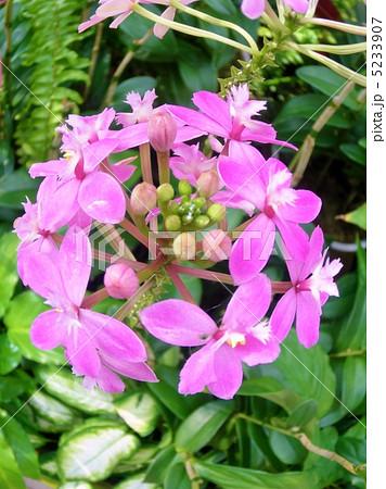 蘭(ラン) エピデンドラム 花言葉:孤高への憧れ Epidendrum 5233907