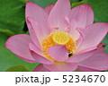 古代蓮 オオガハス ハスの写真 5234670