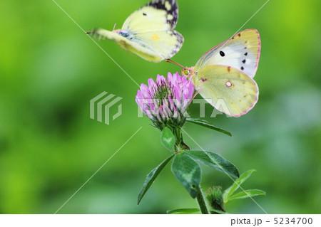 ムラサキツメクサと黄色い蝶々 5234700