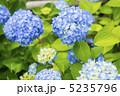 あじさい アジサイ 花の写真 5235796