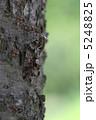 せみ ニイニイゼミ 昆虫の写真 5248825