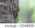せみ ニイニイゼミ 昆虫の写真 5248826