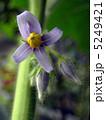 ツノナスの花  5249421