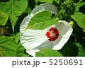 アメリカフヨウ 宿根草 クサフヨウの写真 5250691