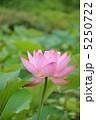 オオガハス 古代蓮 花の写真 5250722