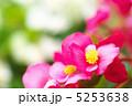ベゴニア ベゴニア・センパフローレンス 四季咲きベゴニアの写真 5253638
