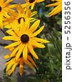 アラゲハンゴンソウ ルドベキア 花の写真 5256356