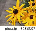 ルドベキア アラゲハンゴンソウ 花の写真 5256357