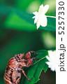 空蝉 蝉の抜け殻 セミの抜け殻の写真 5257330