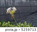 ハマユウの花 5259713
