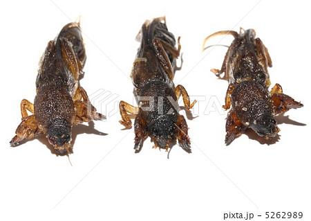 ケラ オケラ 食用昆虫 タイ王国  5262989