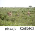 蝦夷鹿 エゾ鹿 エゾシカの写真 5263602
