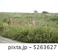 エゾシカ 蝦夷鹿 エゾ鹿の写真 5263627