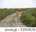エゾシカ 蝦夷鹿 エゾ鹿の写真 5263628