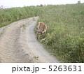蝦夷鹿 子鹿 エゾ鹿の写真 5263631