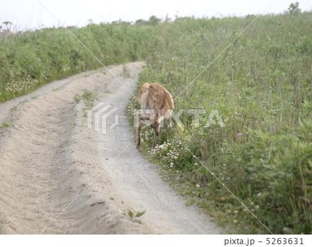野付半島のエゾシカ(子鹿) 5263631